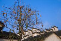 成熟的柿子树