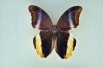 黑猫头鹰环蝶