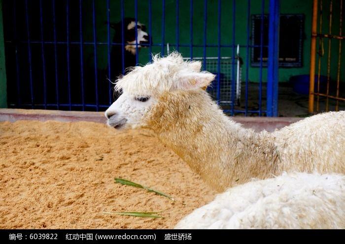 可爱羊驼图片,高清大图