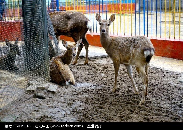 圈养梅花鹿图片,高清大图_陆地动物素材