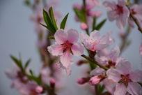 桃花的美丽