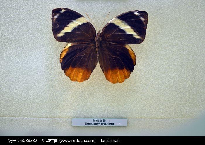 原创摄影图 动物植物 昆虫世界 斜带环蝶  请您分享: 红动网提供昆虫