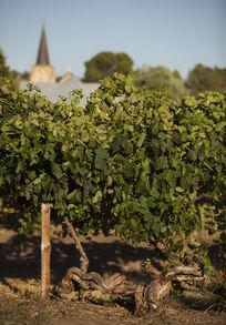 60~80年老藤西拉葡萄树