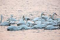 成群的天鹅水中聚集觅食