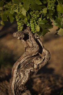 老藤葡萄树