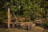 老藤西拉葡萄树