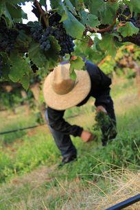 农夫采摘葡萄