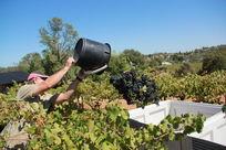 人工采摘葡萄