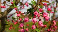 粉色的垂丝海棠
