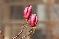 两朵正欲开放的玉兰花