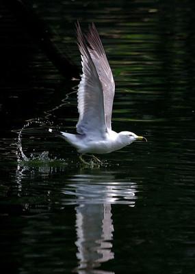 起飞的银鸥