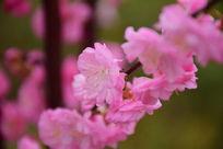 微距下的桃花