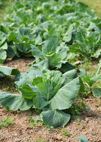 无公害蔬菜卷心菜