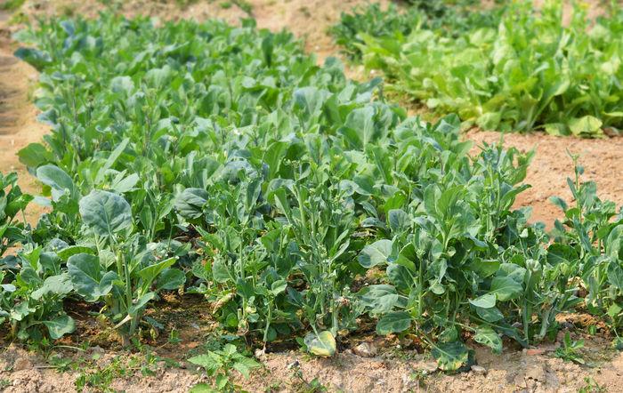 原创摄影图 动物植物 农作物 一片无公害蔬菜芥蓝