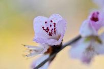 绽放的杏花