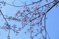 簇拥着的樱花