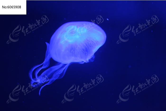 原创摄影图 动物植物 水中动物 梦幻水母