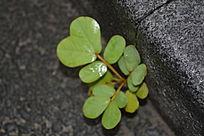 台阶生长的植物