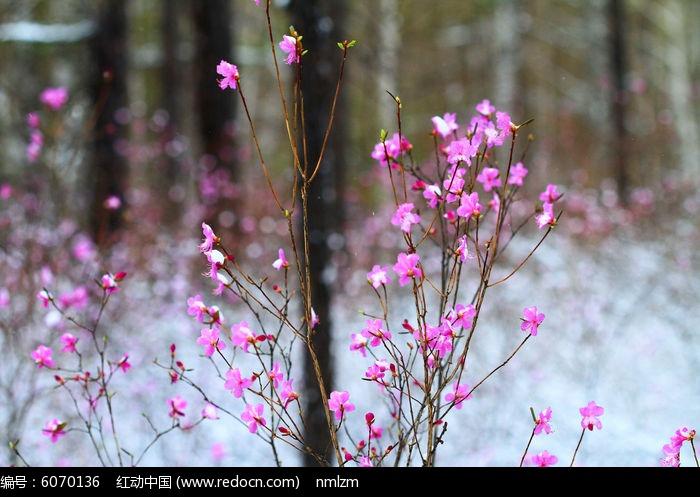 早春的杜鹃花雪景图片