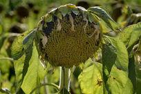 结满果实的向日葵