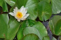 莲叶上的白莲花