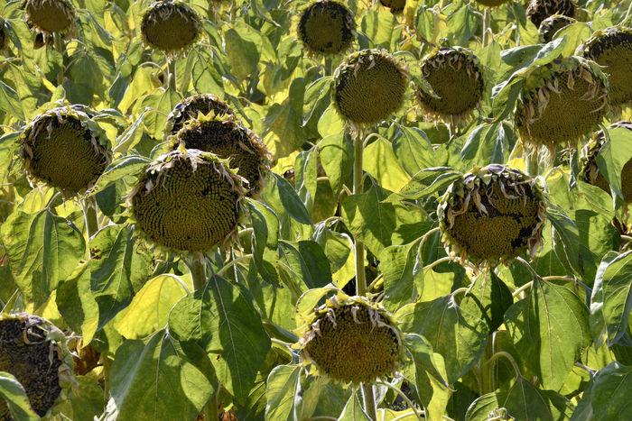 原创摄影图 动物植物 花卉花草 秋天的向日葵  请您分享: 红动网提供