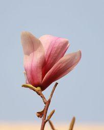 一朵正开放的玉兰花