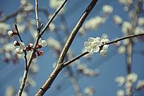 初春里的梅花