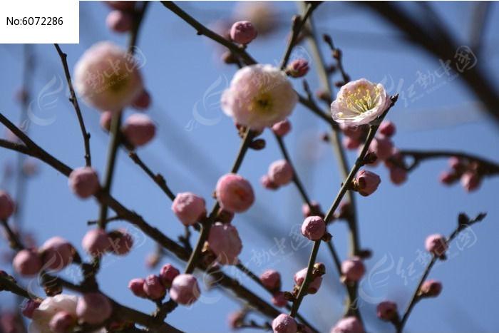 待放的梅花满枝头图片