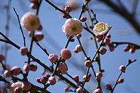 待放的梅花满枝头