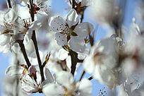 芬芳的梅花