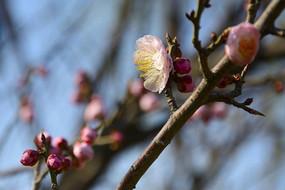 粉色的梅花