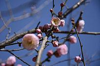 刚开放的粉色梅花