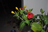 含苞盛开的茉莉花