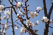 蓝天背景下的梅花