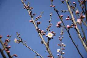 满树枝的梅花花蕾