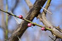 梅花的新枝