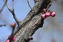 梅花树干上的花蕾