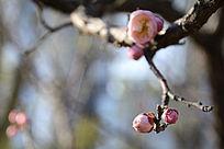 梅花枝头的花苞