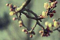 曲线优美的梅花花枝