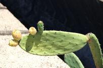 仙人掌和它的果实