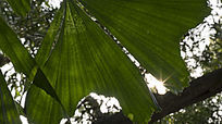 阳光下鱼尾葵