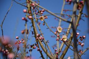 要盛开的梅花