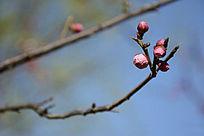 一枝伸出的梅花花蕾
