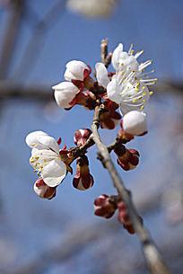 初春的梅花