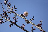 枝头的梅花花苞