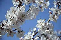 枝头开满梅花