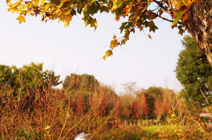 秋天的枫树图片,高清大图