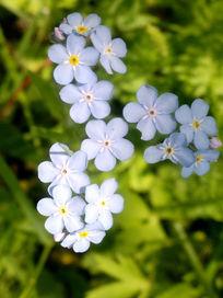 淡蓝色小花