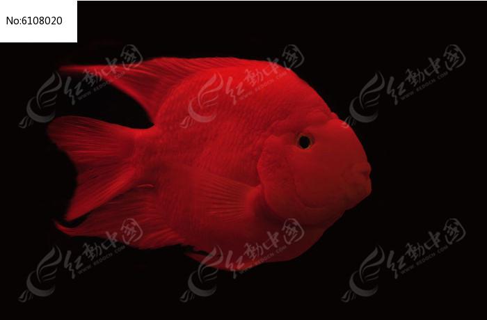 红色的金鱼特写图片,高清大图_水中动物素材